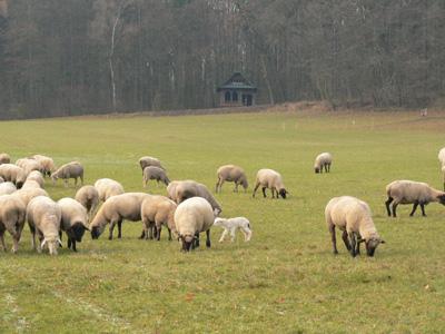 Schafe im Januar
